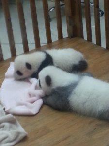 corralito panda cria Chengdu Panda Base