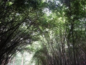 Bamboo forests in Panda country