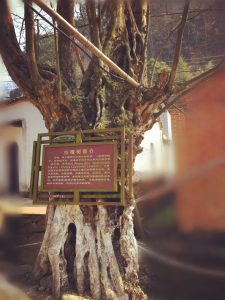 Qing Tan Tree